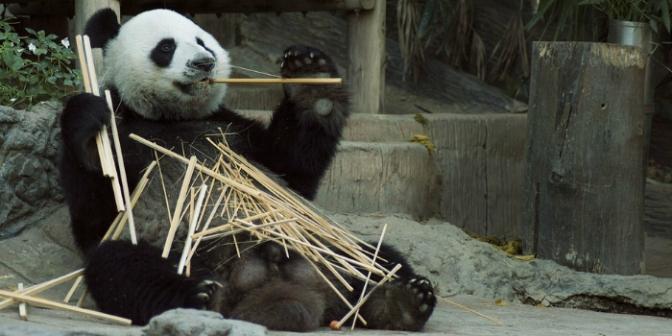 Panda-Sinaforum